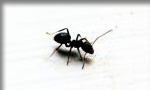 Pictured here is an ant which Evergreen Pest Control exterminates - along with other pests, insects, bugs, rodents and small animals in Antrim County, Charlevoix, Traverse City and all of northern Michigan.