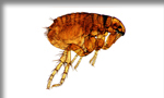 Pictured here is a flea which Evergreen Pest Control exterminates - along with other pests, insects, bugs, rodents and small animals in Antrim County, Charlevoix, Traverse City and all of northern Michigan.