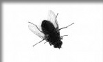 Pictured here is a common household fly  which Evergreen Pest Control exterminates - along with other pests, insects, bugs, rodents and small animals in Antrim County, Charlevoix, Traverse City and all of northern Michigan.