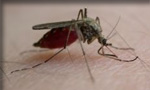 Pictured here is a mosquito which Evergreen Pest Control exterminates - along with other pests, insects, bugs, rodents and small animals in Antrim County, Charlevoix, Traverse City and all of northern Michigan.