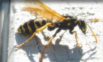 Pictured here is a yellow jacket bee which Evergreen Pest Control exterminates - along with other pests, insects, bugs, rodents and small animals in Antrim County, Charlevoix, Traverse City and all of northern Michigan.