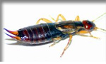 Pictured here is an earwig which Evergreen Pest Control exterminates - along with other pests, insects, bugs, rodents and small animals in Antrim County, Charlevoix, Traverse City and all of northern Michigan.