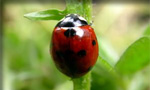 Pictured here is a ladybug which Evergreen Pest Control exterminates - along with other pests, insects, bugs, rodents and small animals in Antrim County, Charlevoix, Traverse City and all of northern Michigan.