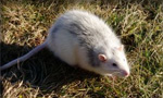 Pictured here is a rat which Evergreen Pest Control exterminates - along with other pests, insects, bugs, rodents and small animals in Antrim County, Charlevoix, Traverse City and all of northern Michigan.